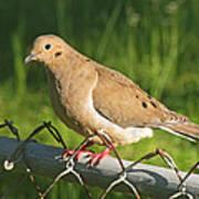 Morning Dove I Poster