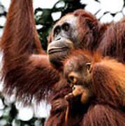 Mother And Baby Orangutan Borneo Poster