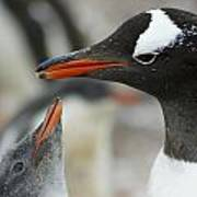 Mother And Chick Gentoo Penguins  Poster