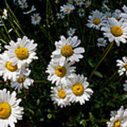 Mountain Daisies Poster