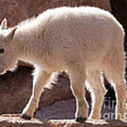 Mountain Goat Kid On Mount Evans Poster