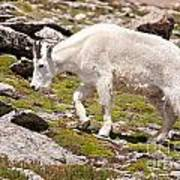 Mountain Goat On Mount Evans Poster