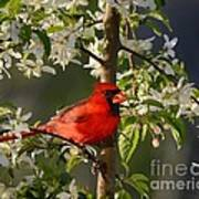 Red Cardinal In Flowers Poster