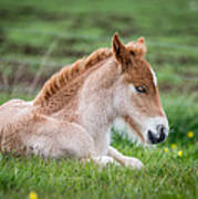New Born Foal, Iceland Purebred Poster