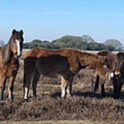 New Forest Ponies Poster