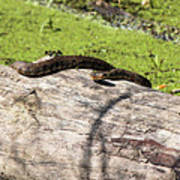 Northern Water Snake Poster