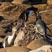 Nz Yellow-eyed Penguins Or Hoiho Feeding The Young Poster