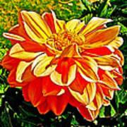 Orange Dahlia On Taquille Island In Lake Titicaca-peru  Poster