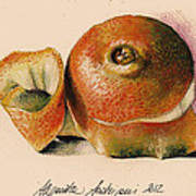 Orange..navel Poster