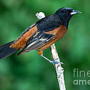 Orchard Oriole Icterus Spurius Adult Poster