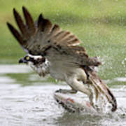 Osprey With A Living Fish, Fischadler Poster