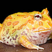 Pac Man Frog Ceratophrys Poster