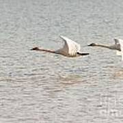 Pair Of Flying Trumpeter Swans Cygnus Buccinator Poster