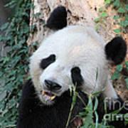 Panda Eating Poster