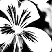 Pansy Flower Black And White 01 Poster