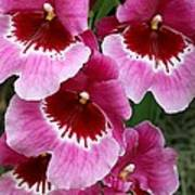 Pansy Orchid 1 Poster