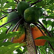 Papaya Tree Poster