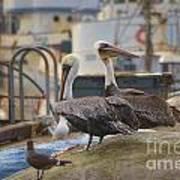 Pelican Duo Poster
