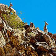 Peninsular Bighorn Sheep From Borrego Palm Canyon Trail In Anza-borrego Desert Sp-ca Poster
