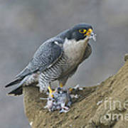 Peregrine Eating Pigeon Poster