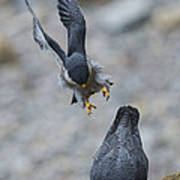 Peregrine Falcons Mating Poster