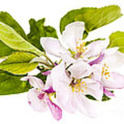 Pink Apple Blossoms Poster