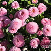 Pink Button Pom Flowers Poster