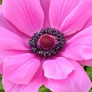 Pink Anemone  Poster