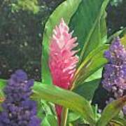 Pink Ginger Poster