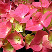 Pink Hydrangea Flowers Poster