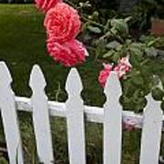 Pink Roses White Picket Fence Poster