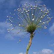 Pipewort Grassland Plants Blooming Poster