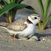 Piping Plover Charadrius Melodus Poster