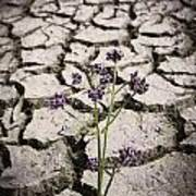 Plant Growing Through Dirt Crack During Drought   Poster