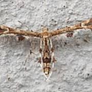 Plume Moth Poster