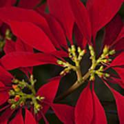Poinsettia  - Euphorbia Pulcherrima Poster