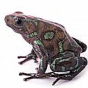 poison arrow frog Panama Poster