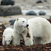 Polar Bear And Cub By Hudson Bay Poster