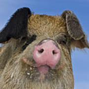 Portrait Of A Boar Poster