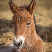 Portrait Of Newborn Foal Poster