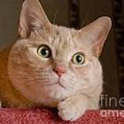 Portrait Orange Tabby Cat Poster by Amy Cicconi