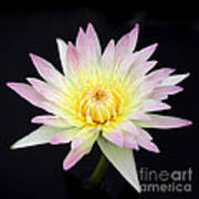 Pretty Pink And Yellow Water Lily Poster