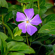 Pretty Purple Pinwheel Poster