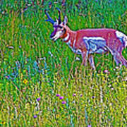 Pronghorn Among Wildflowers In Custer State Park-south Dakota Poster