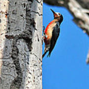 Puerto Rican Woodpecker Endemic Poster