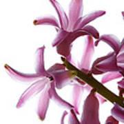 Purple Hyacinth Macro Shot. Poster