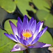 Purple Waterlily Poster