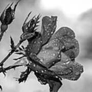 Raindrop Rose Close-up Poster