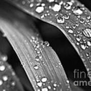 Raindrops On Grass Blades Poster