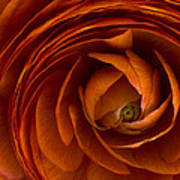 Ranunculus Poster by Cindy Rubin